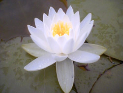 Lotus flower symbolism meaning of lotus flower lotus flower mightylinksfo